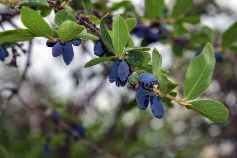 Blauwe rijpe bessen van kamperfoelie op de tak met bladeren van een struik Edulis Lonicera royalty-vrije stock fotografie