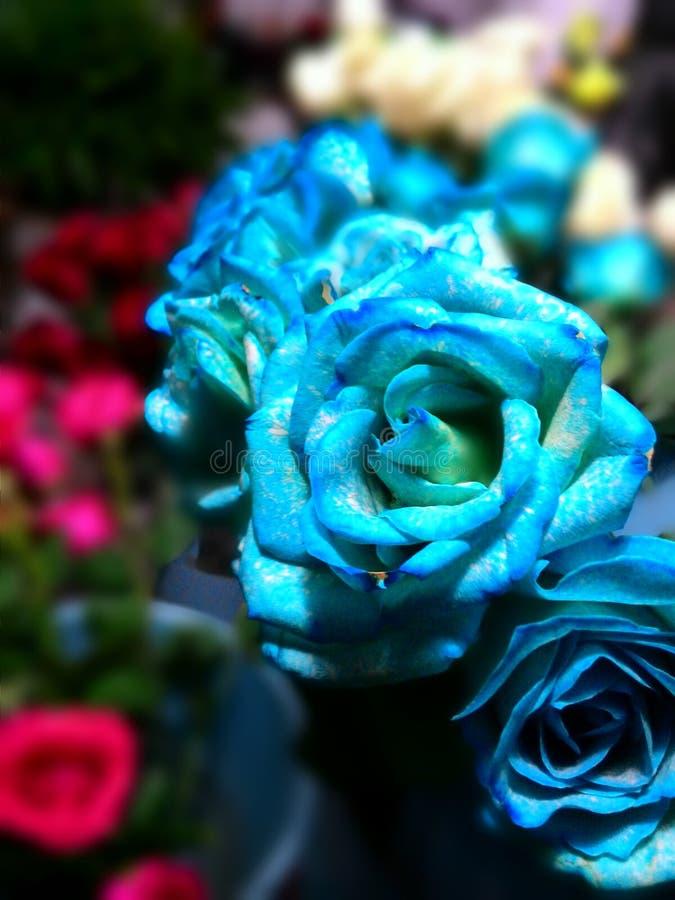 Blauwe Rose Sick stock fotografie