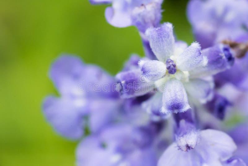 Blauwe Salvia-bloem royalty-vrije stock fotografie