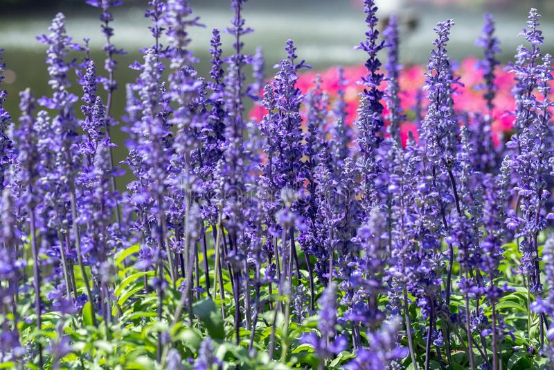 Blauwe Salvia-bloem en groen blad in tuin bij zonnige de zomer of de lentedag voor de decoratie van de prentbriefkaarschoonheid e stock afbeelding