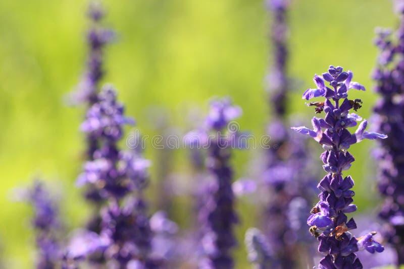 Blauwe Salvia Flowers die in de zon zonnebaden stock afbeelding