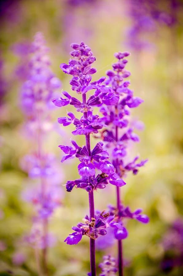 Blauwe salvia, Salvia-bloem in tuin royalty-vrije stock foto's
