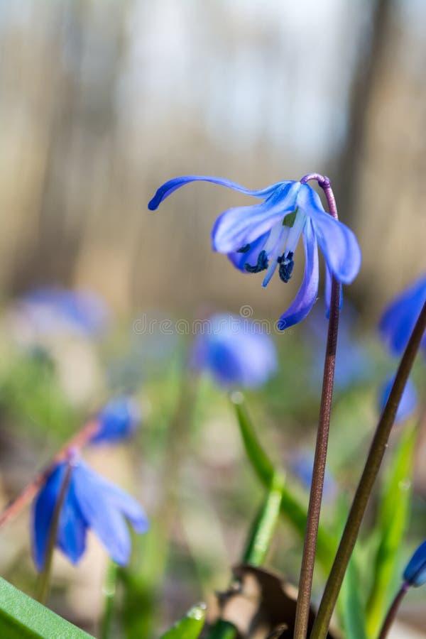 Blauwe scilla wilde sneeuwklokjes die de aardmacro van de lentebloemen in het bos blomming stock fotografie