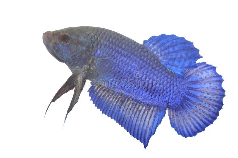 Blauwe Siamese het vechten vissen stock afbeeldingen