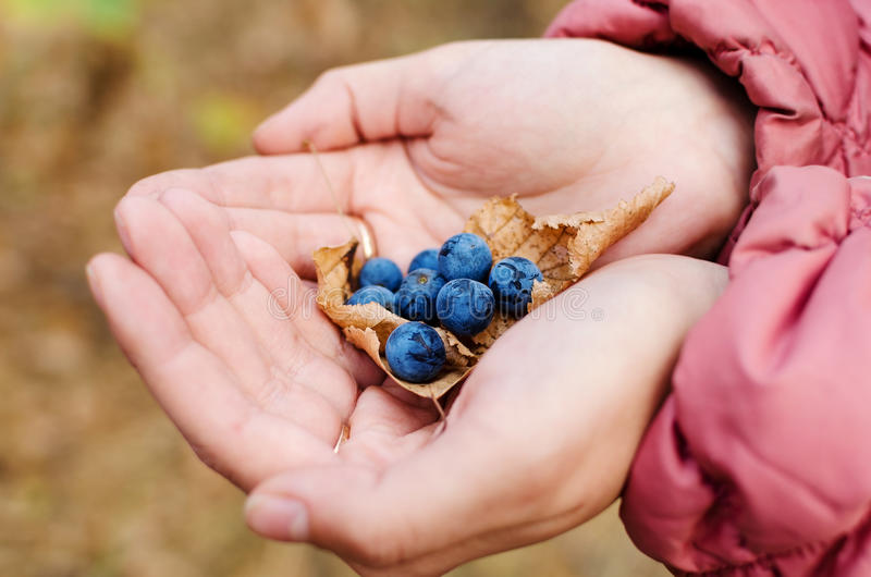Blauwe sleedoornbessen in de handen van het meisje royalty-vrije stock foto