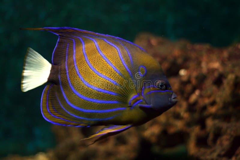 Blauwe strepen tropische vissen royalty-vrije stock foto