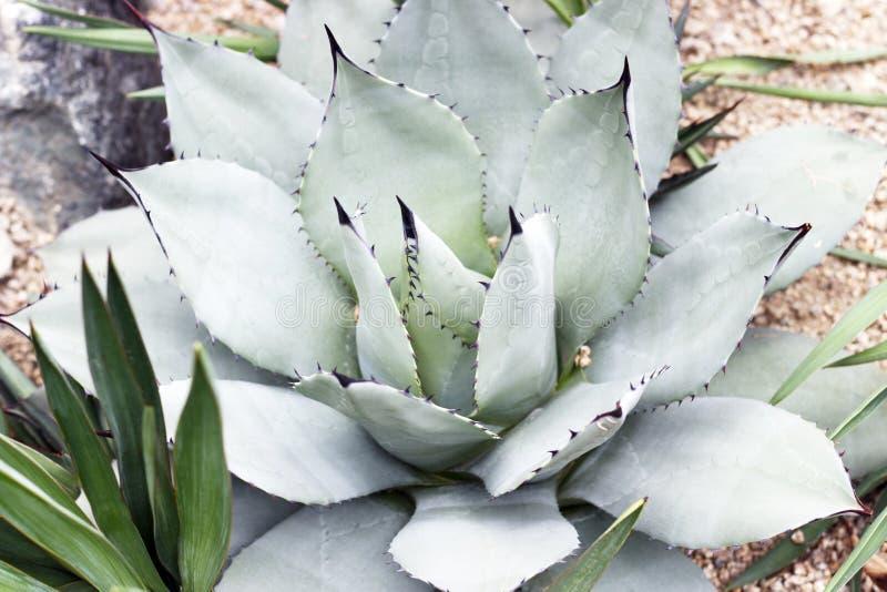 Blauwe succulente dichte omhooggaande, hoogste mening, minimalistic natuurlijke achtergrond stock foto