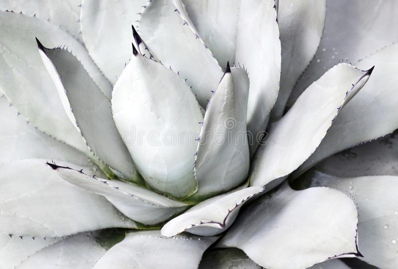 Blauwe succulente dichte omhooggaande, hoogste mening, minimalistic natuurlijke achtergrond stock foto's