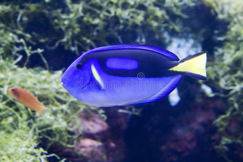 Blauwe surgeonfish royalty-vrije stock afbeelding