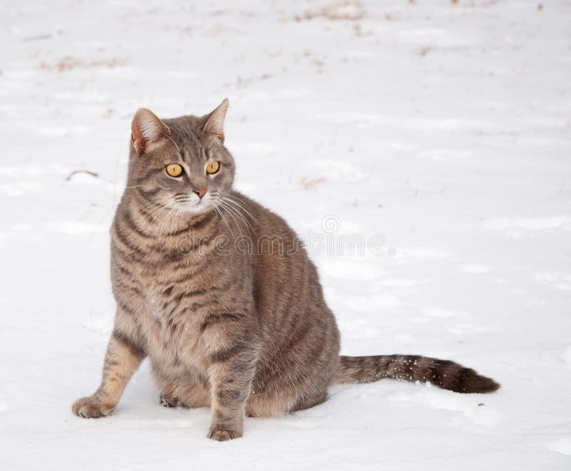 Blauwe tabby kattenzitting in sneeuw stock afbeelding