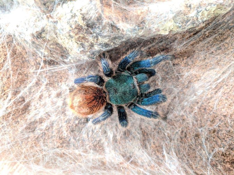 Blauwe tarantula stock afbeelding