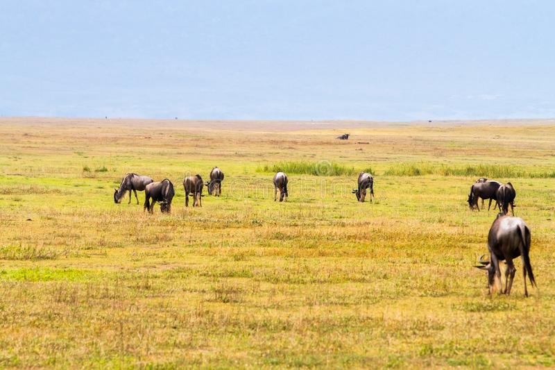 Blauwe taurinus van wildebeestsconnochaetes op Ngorongoro-Behoudsgebied NCA royalty-vrije stock foto's