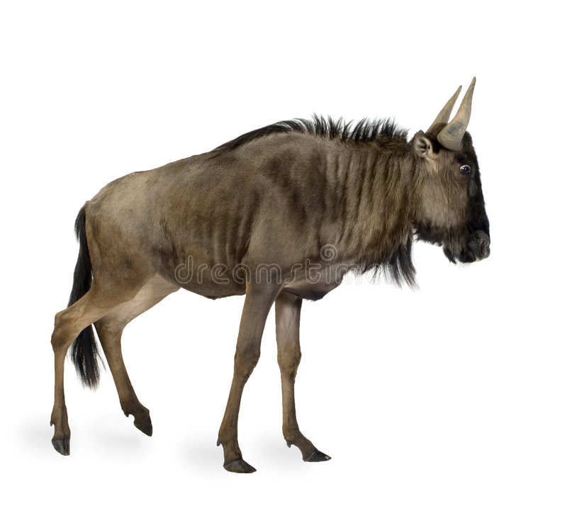 Blauwe taurinus Wildebeest - Connochaetes royalty-vrije stock fotografie