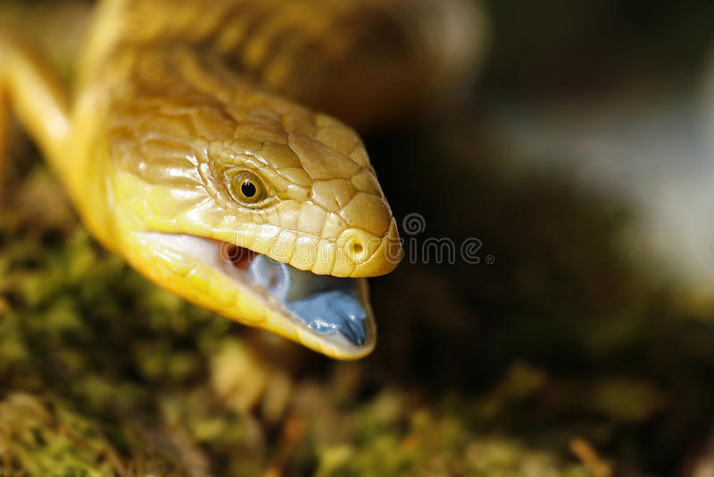 Blauwe tongued skink royalty-vrije stock afbeeldingen