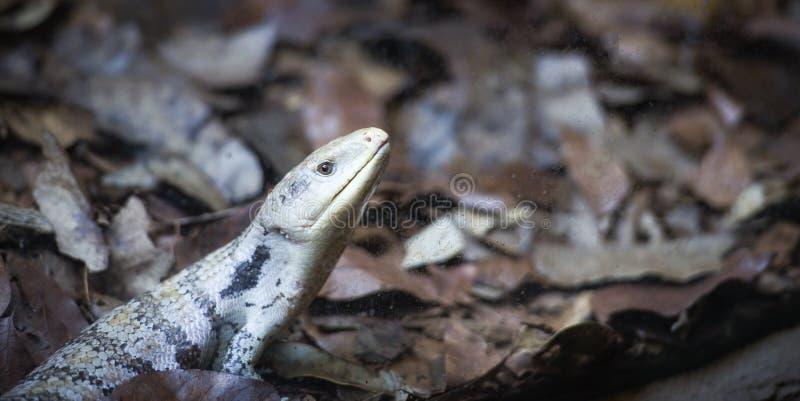 Blauwe tongued skink die op de grond liggen - Tiliqua scincoides stock afbeeldingen