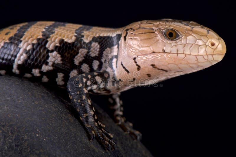 Blauwe tongued skink van het Keieiland (Tiliqua-gigaskeiensis) stock afbeelding