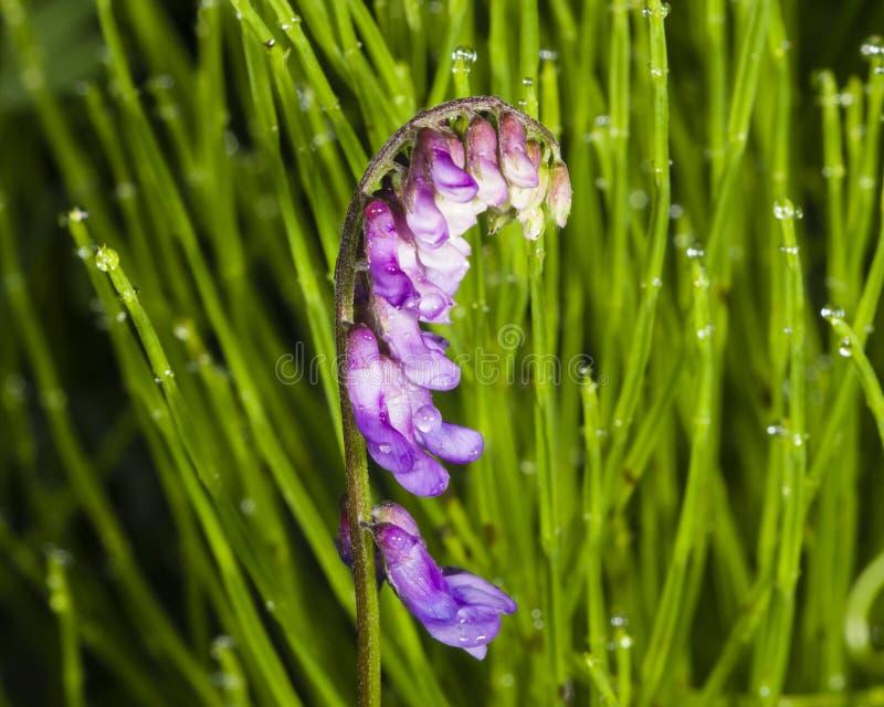 Blauwe of tufted wikke, vicia cracca, natte bloemen op stam in horsetail macro met bokehachtergrond, selectieve nadruk royalty-vrije stock fotografie