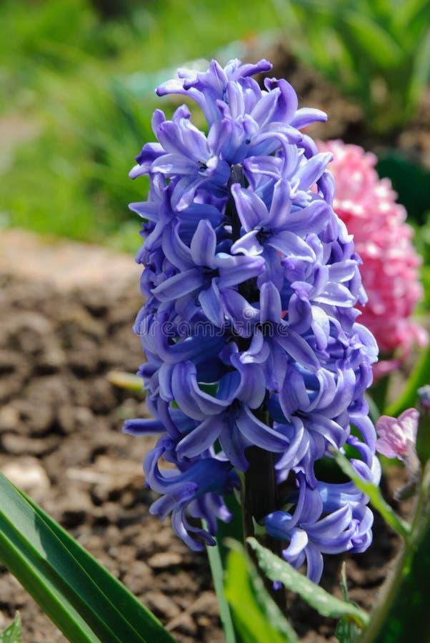 Blauwe Tuin of Nederlandse hyacint stock fotografie