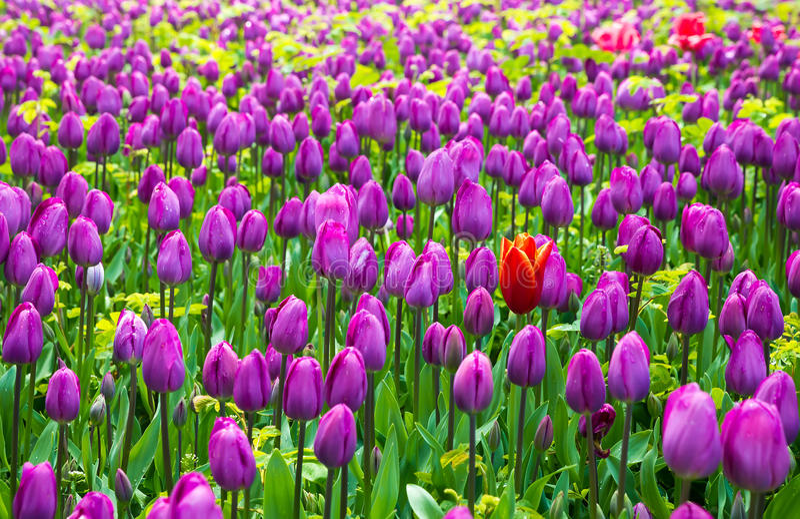 Blauwe Tulpen royalty-vrije stock foto's