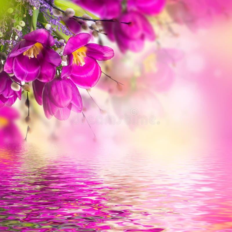Blauwe tulpen met mimosa stock fotografie