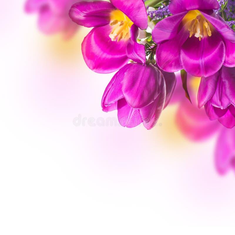 Blauwe tulpen met mimosa stock foto's