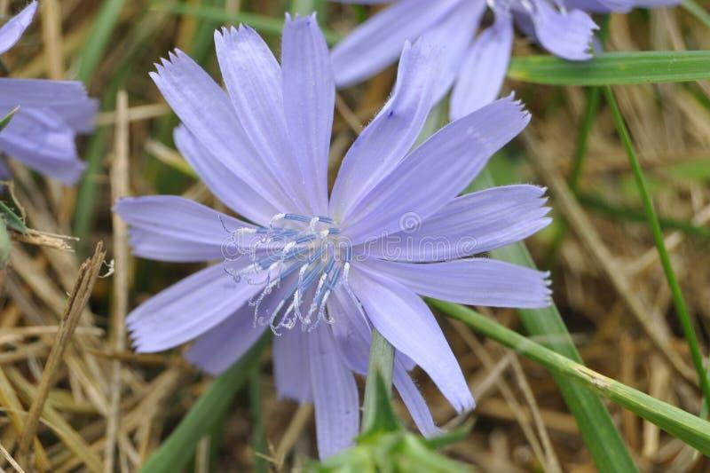 Blauwe, Uiterst kleine, Wilde bloem, filigraan stock fotografie