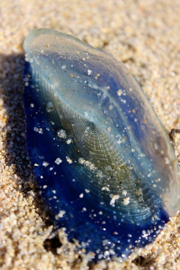 Blauwe Velella waste omhoog op Strand stock afbeelding