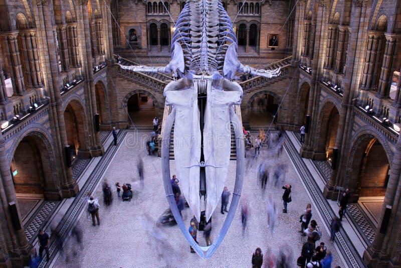Blauwe vinvisskelet, biologiemuseum, Londen royalty-vrije stock afbeeldingen