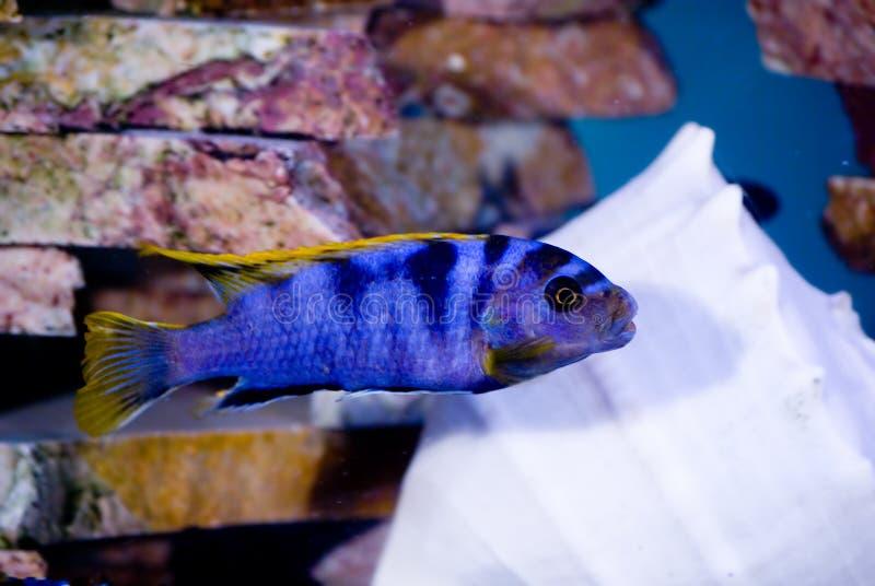 Blauwe vissen gouden vinnen royalty-vrije stock foto