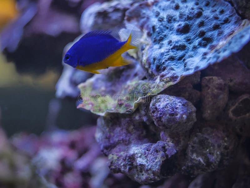 Blauwe vissen op koraal royalty-vrije stock foto's