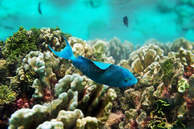 Blauwe vissenvlotter dichtbij het koraal stock fotografie