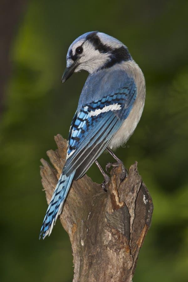 Blauwe Vlaamse gaai royalty-vrije stock fotografie