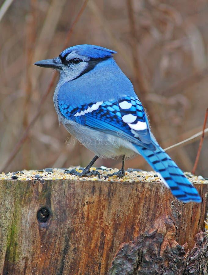 Blauwe Vlaamse gaai royalty-vrije stock afbeelding
