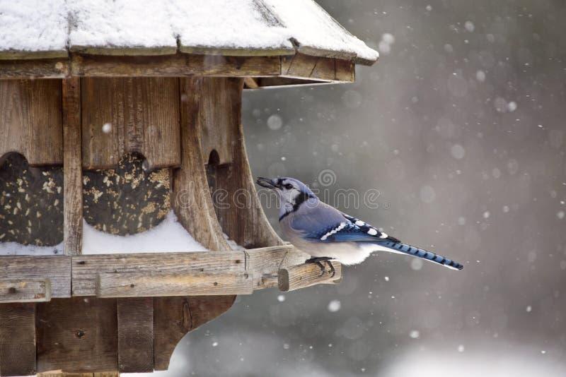 Blauwe Vlaamse gaai bij de Winter van de Vogelvoeder royalty-vrije stock afbeeldingen