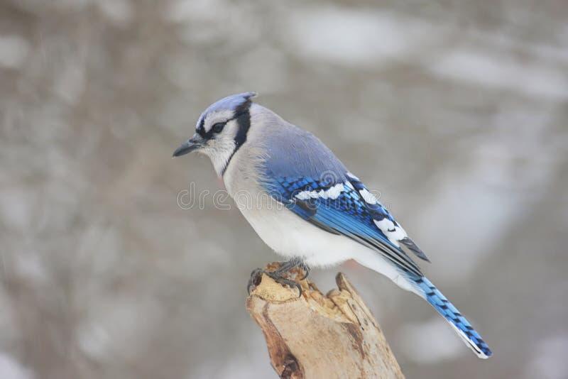 Blauwe Vlaamse gaai in de Winter royalty-vrije stock afbeeldingen