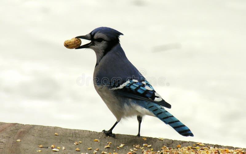 Blauwe Vlaamse gaai met een pinda. royalty-vrije stock fotografie