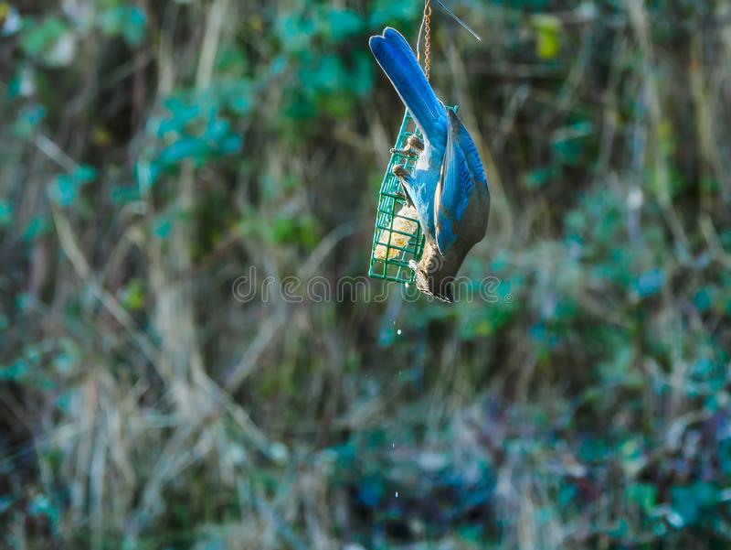 Blauwe Vlaamse gaai op een Voeder royalty-vrije stock afbeeldingen