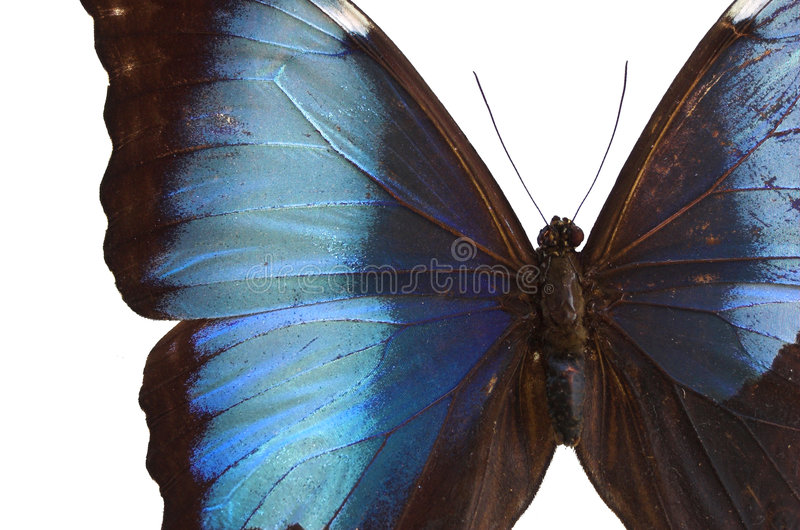 Blauwe Vlinder 2 royalty-vrije stock afbeeldingen