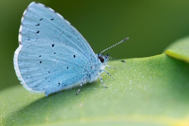 Blauwe Vlinder op een groen blad stock afbeeldingen