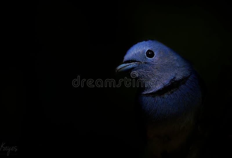 Blauwe vogel op de zwarte achtergrond royalty-vrije stock afbeeldingen