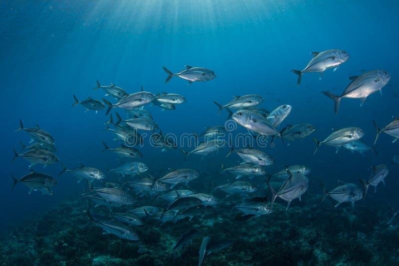Blauwe Water en het Scholen Bigeye Hefbomen stock foto's