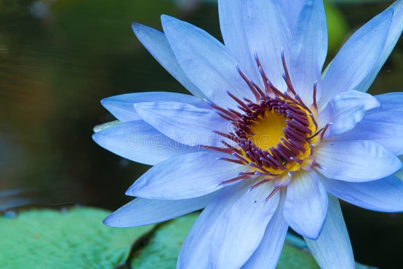 Blauwe waterlelie bij longwoodtuinen stock foto's