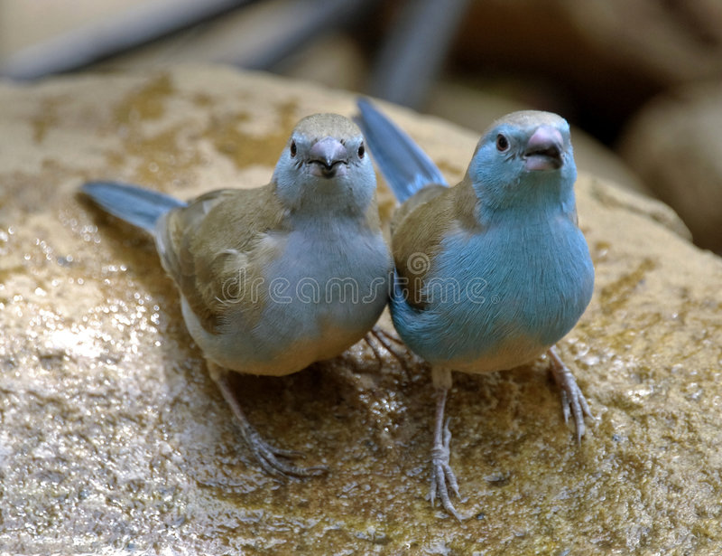 Blauwe waxbill stock afbeeldingen