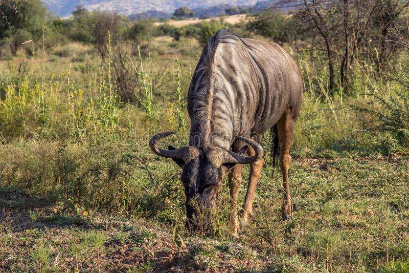 Blauwe Wildebeest in pilanesberg stock fotografie