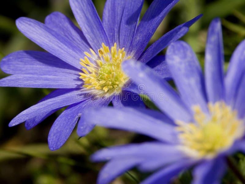 Blauwe Windflowers - Duet stock foto