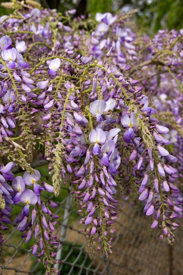 Blauwe wisteria stock foto