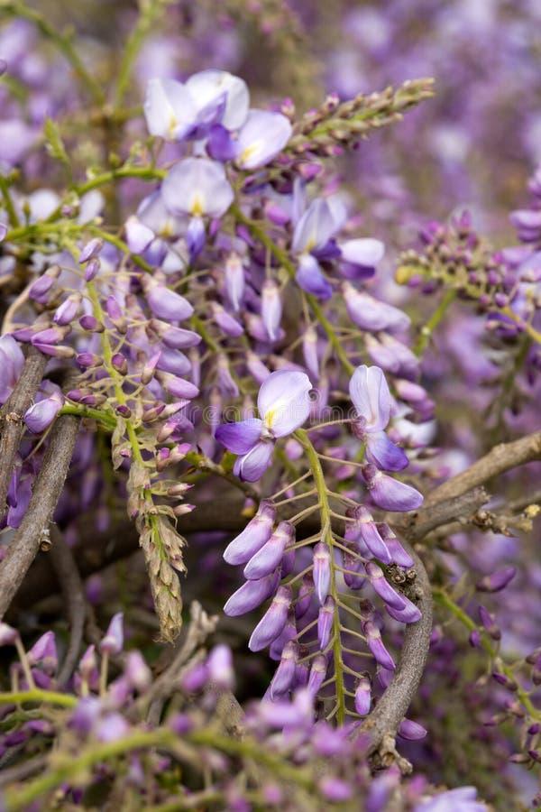 Blauwe wisteria royalty-vrije stock foto's