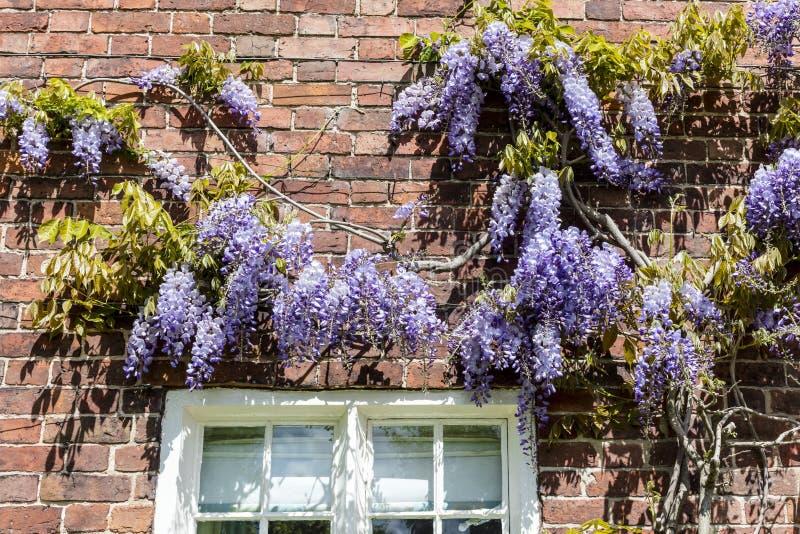 Blauwe wisteria royalty-vrije stock afbeelding