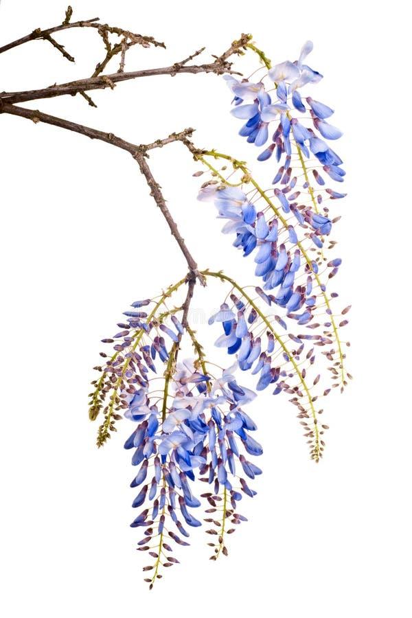 Blauwe wisteriabloemen stock foto's