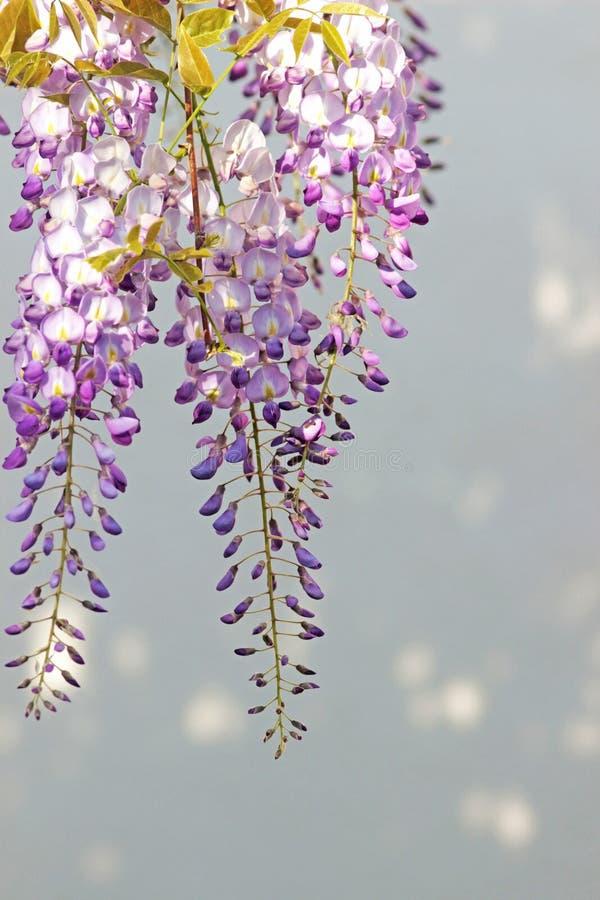 Blauwe wisteriabloesems voor een heldere achtergrond stock foto